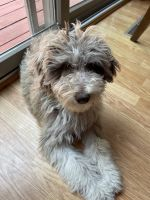Aussie Doodles Puppies for sale in St Cloud, MN 56304, USA. price: NA