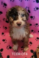Aussie Doodles Puppies for sale in Texas Creek, CO 81223, USA. price: NA