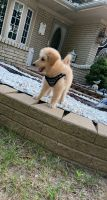 Aussie Doodles Puppies for sale in 14270 Edshire Dr, Sterling Heights, MI 48312, USA. price: NA