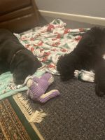 Aussie Doodles Puppies for sale in Fort Worth, TX, USA. price: NA