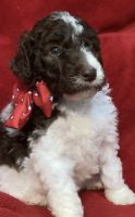 Aussie Doodles Puppies for sale in Danville, KY, USA. price: NA