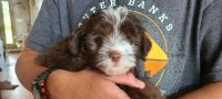 Aussie Doodles Puppies for sale in Elizabeth City, NC 27909, USA. price: NA
