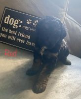 Aussie Doodles Puppies for sale in Clarksville, TN, USA. price: NA