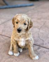 Aussie Doodles Puppies for sale in Clovis, CA 93619, USA. price: NA