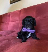 Aussie Doodles Puppies for sale in Las Vegas, NV 89129, USA. price: NA
