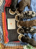 Aussie Doodles Puppies for sale in Draper, UT, USA. price: NA