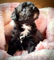 Aussie Doodles Puppies for sale in San Antonio, TX, USA. price: NA