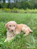 Aussie Doodles Puppies for sale in Terre Haute, IN, USA. price: NA