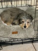 Aussie Doodles Puppies for sale in Fort Lauderdale, FL, USA. price: NA