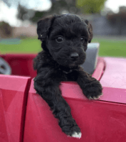 Aussie Doodles Puppies for sale in San Angelo, TX, USA. price: NA