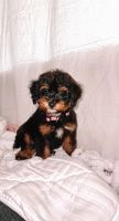 Aussie Doodles Puppies for sale in Hiawatha, IA, USA. price: NA