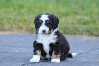 Aussie Doodles Puppies for sale in Richmond, VA, USA. price: NA