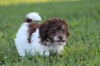 Aussie Doodles Puppies for sale in Jersey City, NJ, USA. price: NA