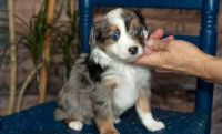 Aussie Doodles Puppies for sale in Cedar Rapids, IA, USA. price: NA