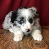 Aussie Doodles Puppies for sale in Austin, TX, USA. price: NA
