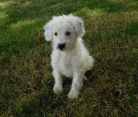 Aussie Doodles Puppies for sale in Seattle, WA 98103, USA. price: NA