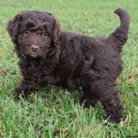 Aussie Doodles Puppies for sale in Campus Drive, Stanford, CA 94305, USA. price: NA