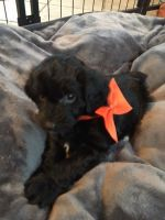 Aussie Doodles Puppies for sale in Eastman, WI, USA. price: NA