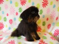 Aussie Doodles Puppies for sale in Wirtz, VA 24184, USA. price: NA