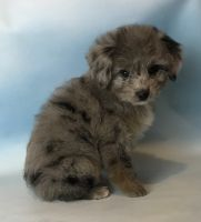Aussie Doodles Puppies for sale in Canton, OH, USA. price: NA
