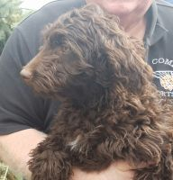 Aussie Doodles Puppies for sale in Southern Oregon, OR, USA. price: NA