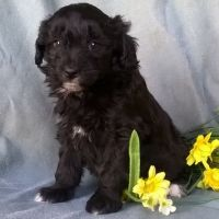 Aussie Doodles Puppies for sale in Louisville, KY, USA. price: NA
