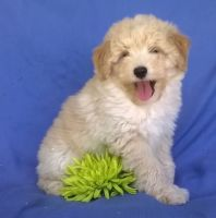 Aussie Doodles Puppies for sale in Boston, MA, USA. price: NA