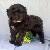 Aussie Doodles Puppies for sale in Los Angeles, CA, USA. price: NA