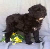 Aussie Doodles Puppies for sale in Pasadena, CA, USA. price: NA