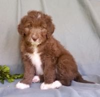 Aussie Doodles Puppies for sale in Birmingham, AL, USA. price: NA