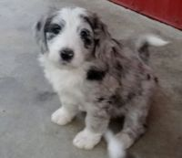 Aussie Doodles Puppies for sale in Abbeville, SC 29620, USA. price: NA
