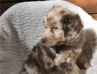 Aussie Doodles Puppies for sale in Scranton, PA, USA. price: NA
