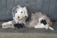 Aussie Doodles Puppies for sale in Owingsville, KY 40360, USA. price: NA