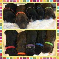 Aussie Doodles Puppies for sale in Ashland, MS 38603, USA. price: NA
