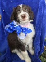 Aussie Doodles Puppies for sale in Joshua, TX 76058, USA. price: NA