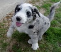 Aussie Doodles Puppies for sale in Eagle City, OK 73724, USA. price: NA