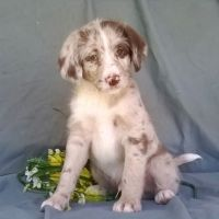 Aussie Doodles Puppies for sale in Milwaukee, WI, USA. price: NA