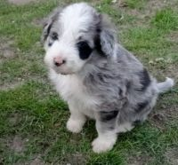 Aussie Doodles Puppies for sale in Junction City, KY, USA. price: NA