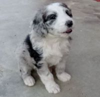Aussie Doodles Puppies for sale in Farmingdale, ME 04344, USA. price: NA