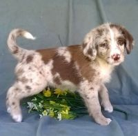 Aussie Doodles Puppies for sale in St. Louis, MO, USA. price: NA
