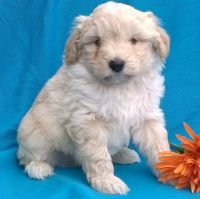 Aussie Doodles Puppies for sale in Fargo, ND, USA. price: NA