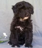 Aussie Doodles Puppies for sale in Charlestown, RI, USA. price: NA