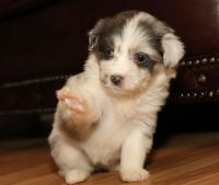Aussie Doodles Puppies for sale in Hyattville, WY 82428, USA. price: NA