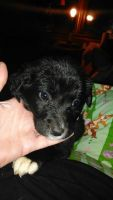 Aussie Doodles Puppies for sale in Brownsville, KY 42210, USA. price: NA