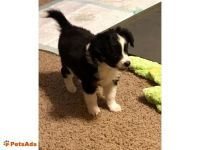 Aussie Doodles Puppies for sale in Chicago, IL, USA. price: NA