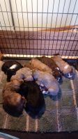 Aussie Doodles Puppies for sale in Blair, WI 54616, USA. price: NA