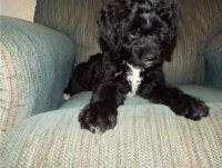 Aussie Doodles Puppies for sale in Duncanville, TX, USA. price: NA