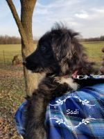 Aussie Doodles Puppies for sale in Conway, MO 65632, USA. price: NA