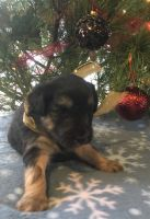 Aussie Doodles Puppies for sale in La Crosse, WI, USA. price: NA