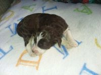 Aussie Doodles Puppies for sale in Muskogee, OK 74403, USA. price: NA